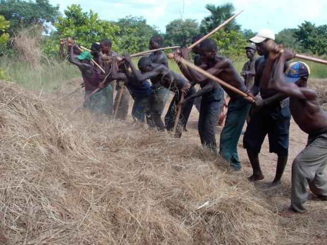 Fonio traditional threshing with rods