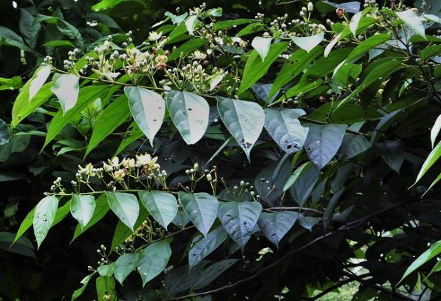 Biul (Grewia optiva) leaves and flowers, Morni Hills, India