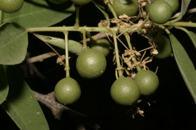 Boscia (Boscia angustifolia) immature fruits, Mali