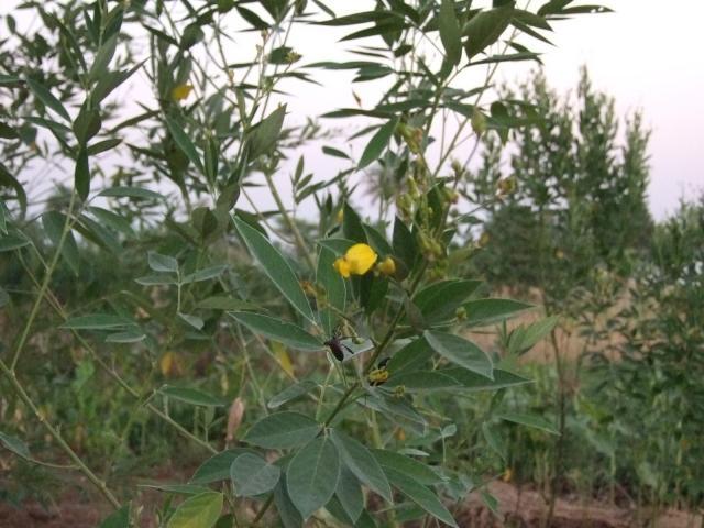 Pigeon pea (Cajanus cajan) flower and leaves, Togo