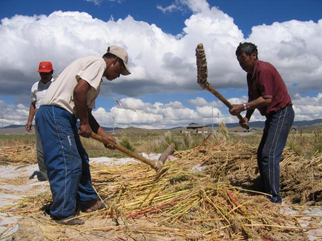 Threshing of quinoa