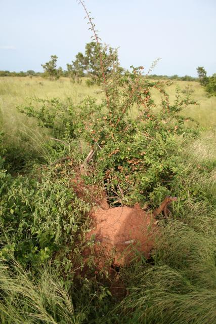 Combretum aculeatum on a termite mound in Burkina Faso