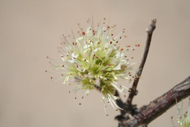 Combretum aculeatum inflorescence
