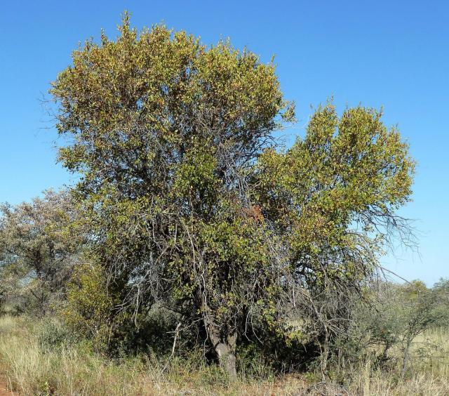 Red bush willow (Combretum apiculatum) habit