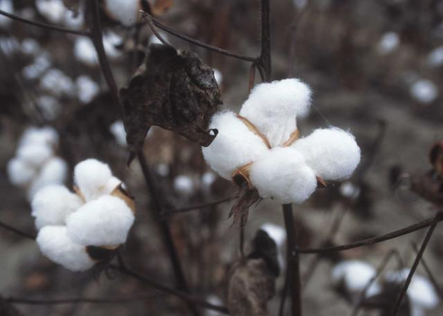 Cotton plant ready for harvest, Texas, 1996