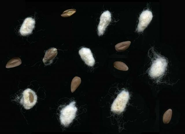 Cotton seeds, with and without linters