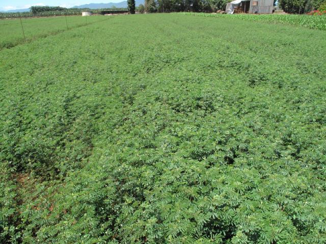 Desmanthus virgatus cultivated for hay, Queensland, Australia