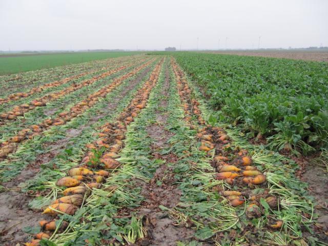 Fodder beet field, Germany