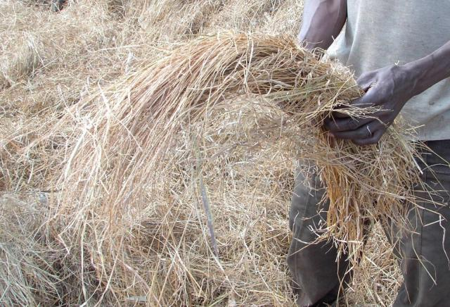 Sheaf of wilted fonio before threshing