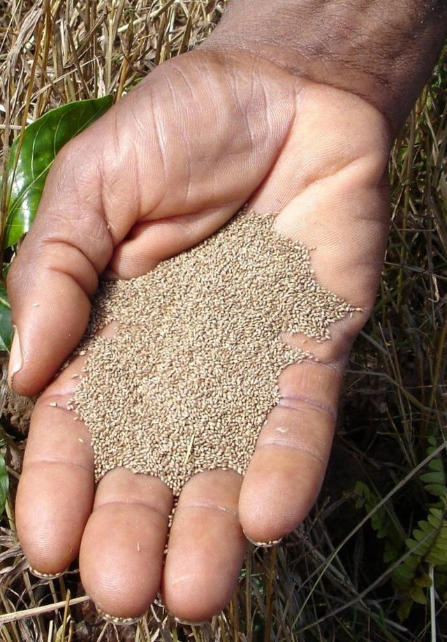Handful of undehulled fonio (Digitaria exilis) grain