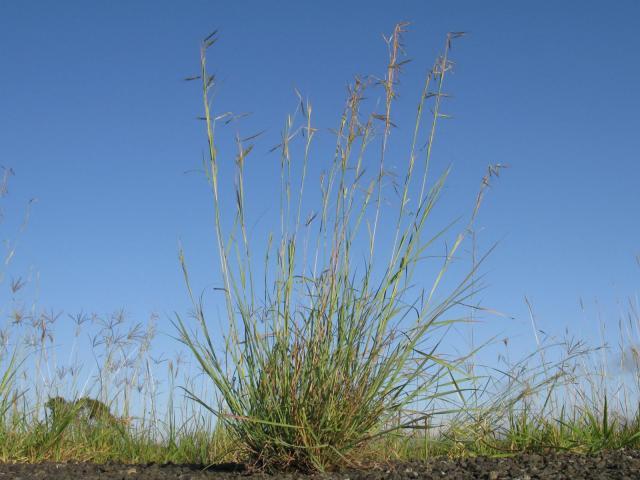 Common Thatching grass (Hyparrhenia hirta) habit