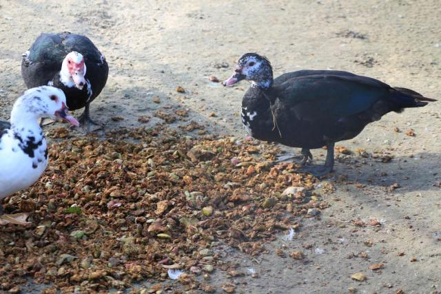 Ducks eating apple pomace