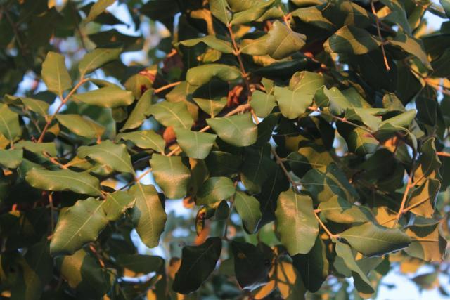 Carob (Ceratonia siliqua), leaves, Dubrovnik, Croatia