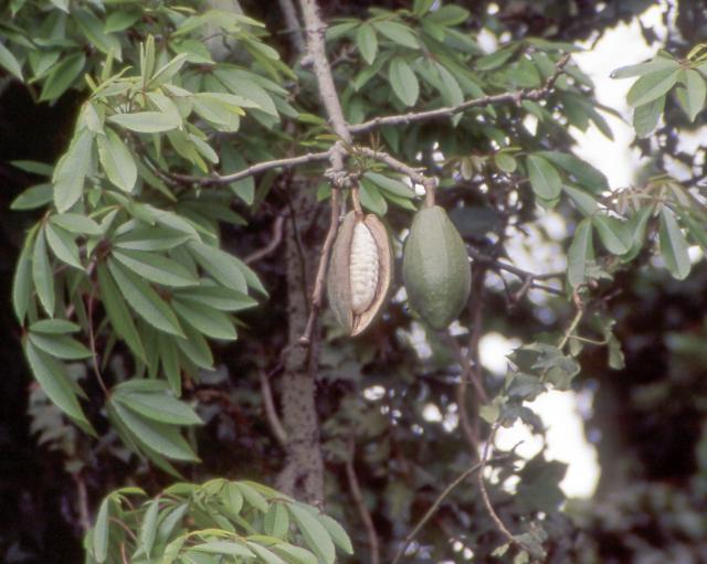 Kapok fruits and kapok fibre