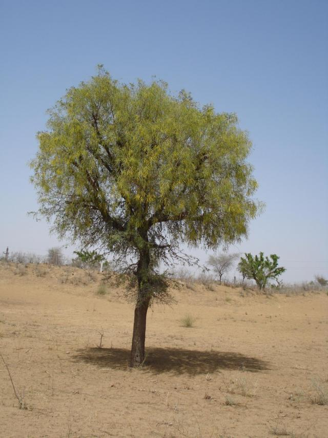 Prosopis (Prosopis cineraria) tree