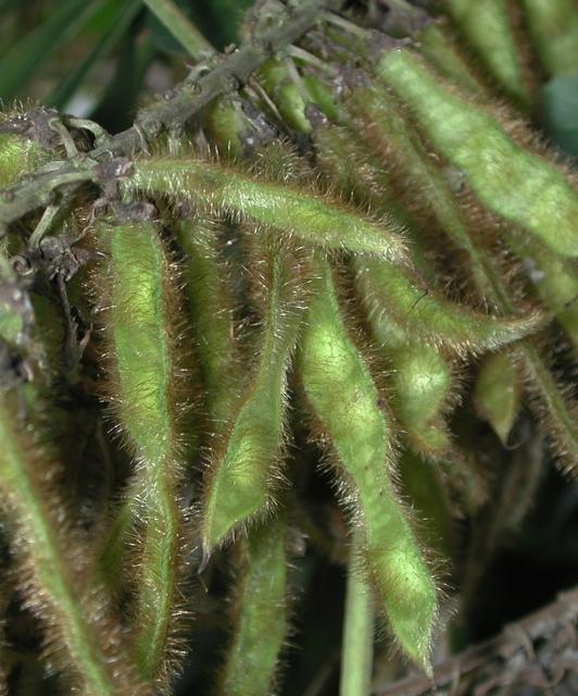 Kudzu seedpods