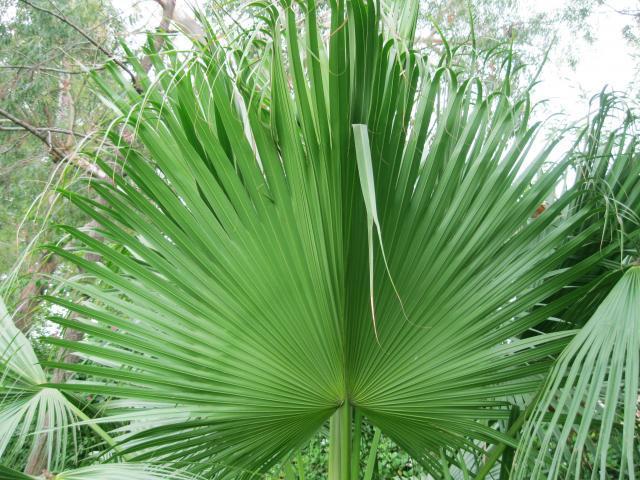 Leaf of date palm