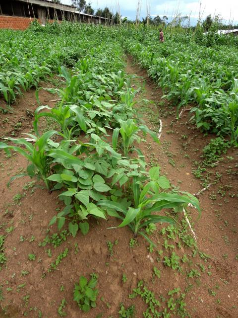 Common bean cultivated in association with maize