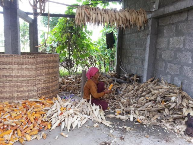 Maize ears collected to feed cattle, Nepal