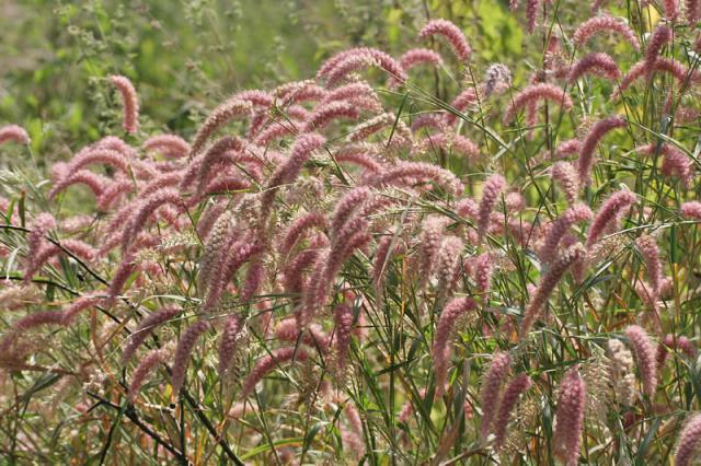 Nigeria grass (Pennisetum pedicellatum), India