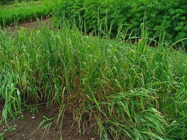 Timothy grass (Phleum pratense), habit, Germany