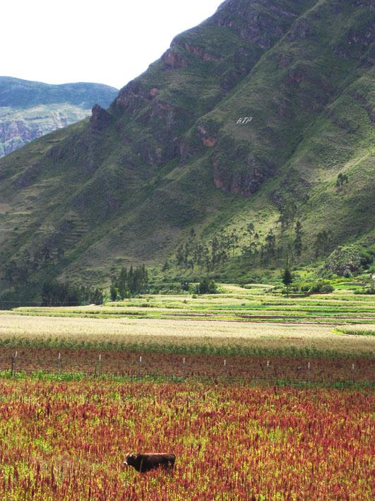 Quinoa (Chenopodium quinoa) field