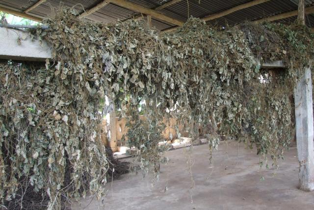 Tropical kudzu (Pueraria phaseoloides), dried for hay