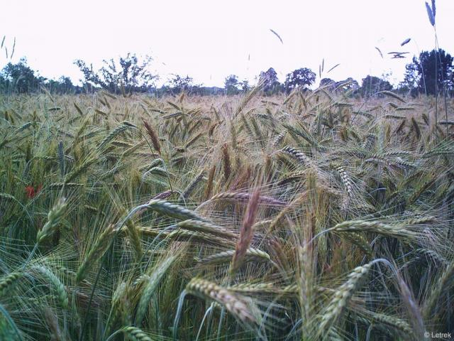 Rye forage (Secale cereale)