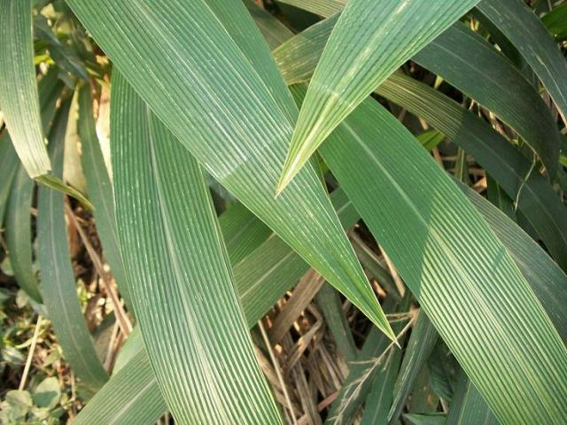 Big-leaf bristle grass (Setaria megaphylla), leaves