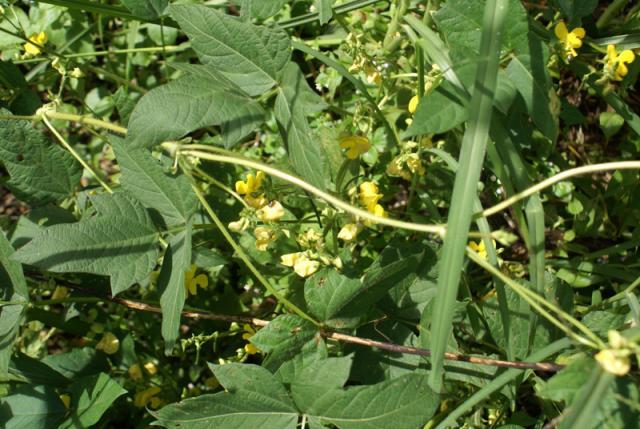 Moth bean (Vigna aconitifolia) foliage and flowers