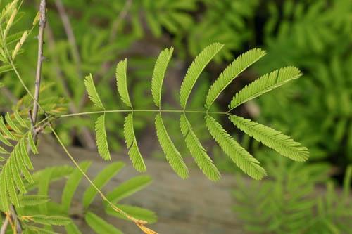 Acacia (Acacia brevispica) leaves