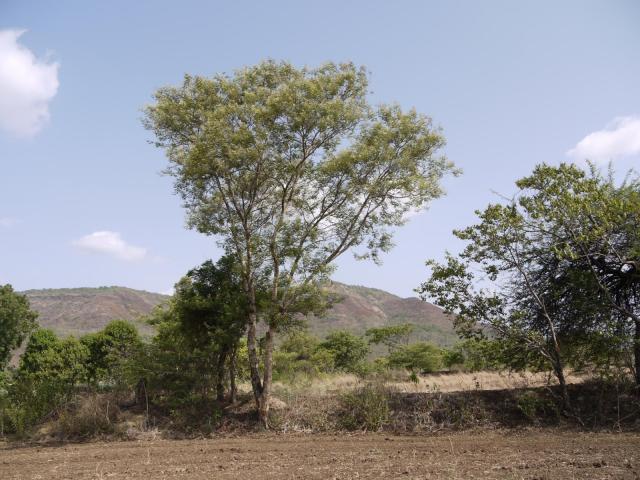 Black cutch (Acacia catechu), habit