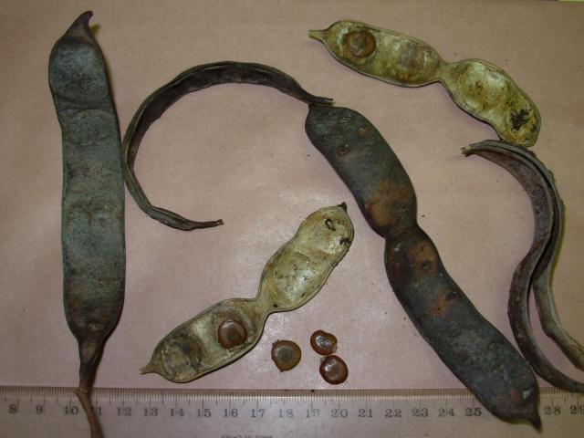 Black cutch (Acacia catechu), pods