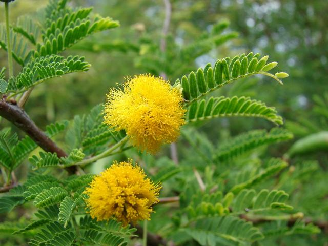 Huizache (Acacia farnesiana) flowers and leaves