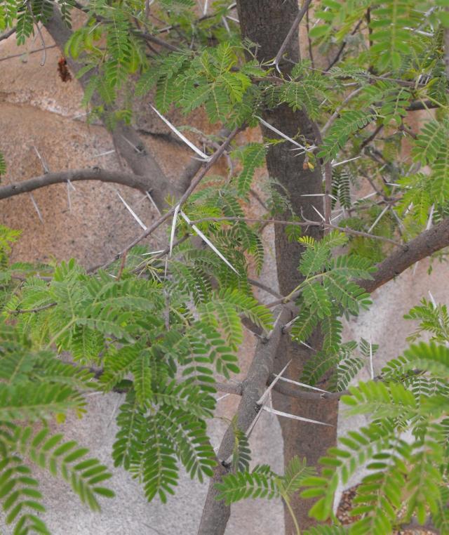 Sweet thorn (Acacia karroo) leaves