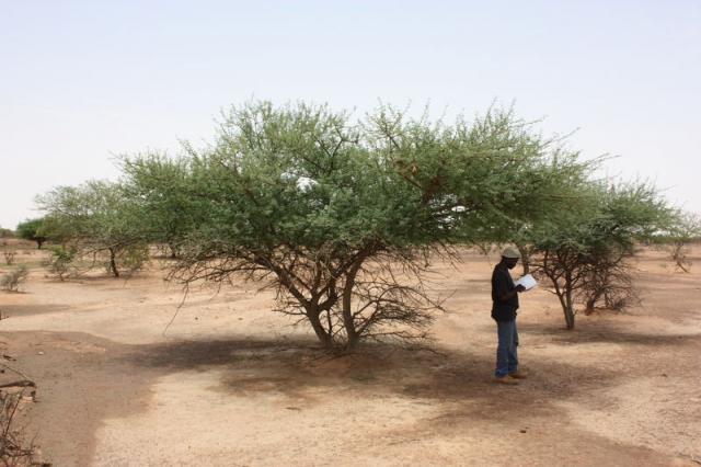 Black-hooked acacia (Senegalia laeta) community, Burkina Faso