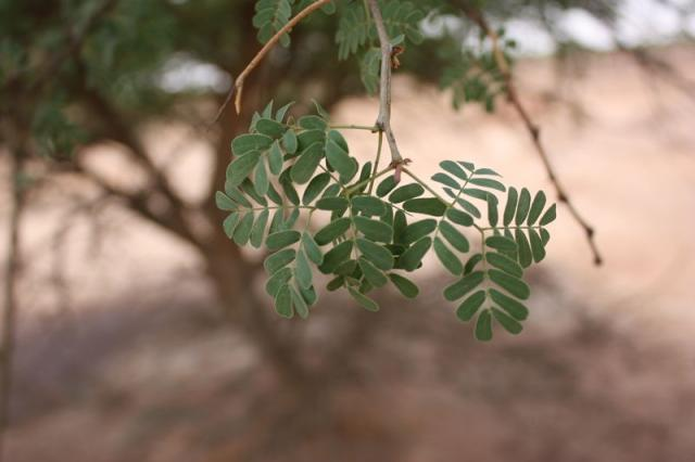 Black-hooked acacia (Acacia laeta) leaves