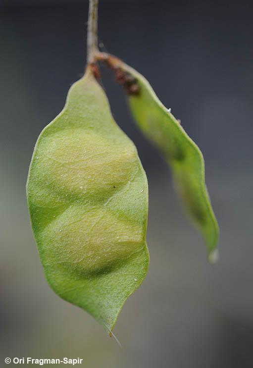 Black-hooked acacia (Acacia laeta) immature pod