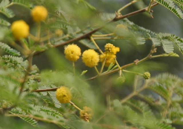 Babul (Acacia nilotica) flowers, India