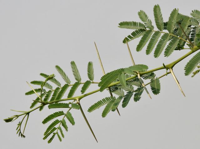 Babul (Acacia nilotica) twigs, Hindaryana, India