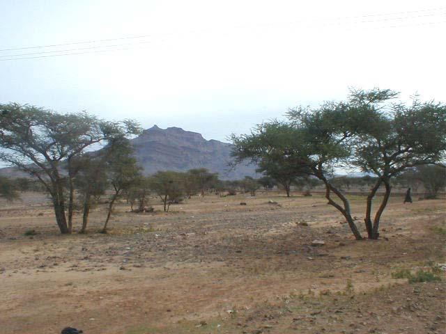 Babul (Acacia nilotica) tree, general habit, Morocco