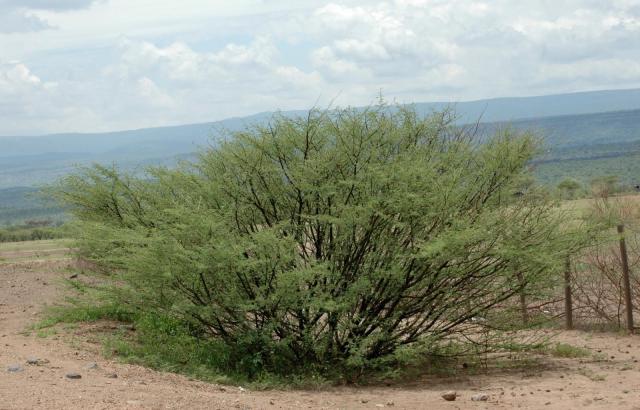 Acacia (Acacia oerfota) shrub