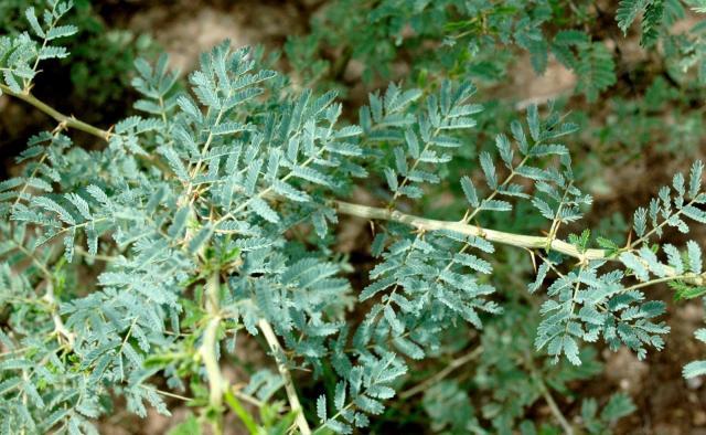 Orfot (Acacia oerfota) leaves and thorns