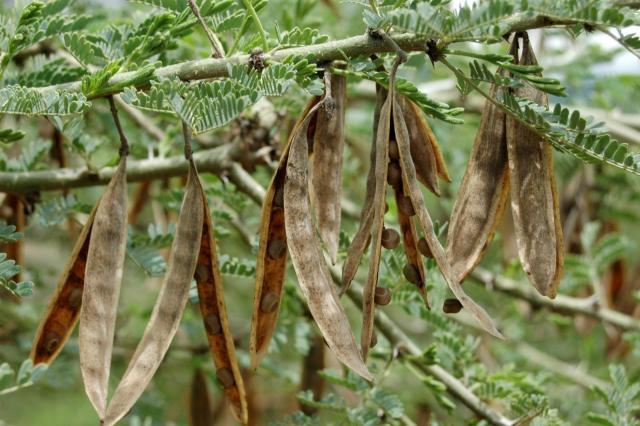 Acacia (Acacia oerfota) pods