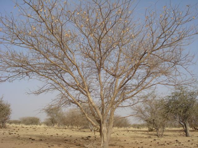 Gum arabic tree (Acacia senegal) without leaves, dry season, Niger