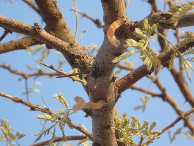 Gum exudates from gum arabic tree (Acacia senegal), Niger