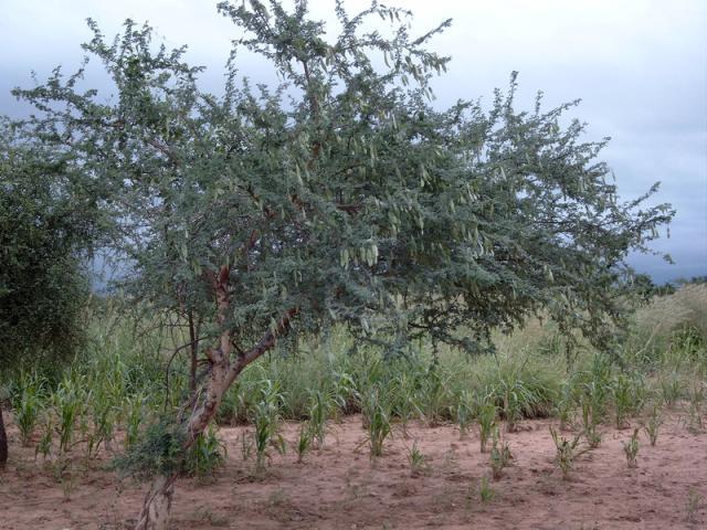Gum arabic tree (Acacia senegal), habit, Burkina-Faso