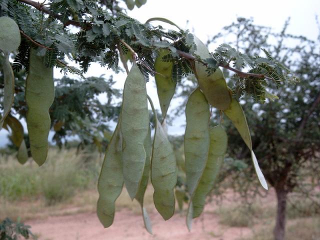Gum arabic tree (Acacia senegal), pods, Burkina-Faso