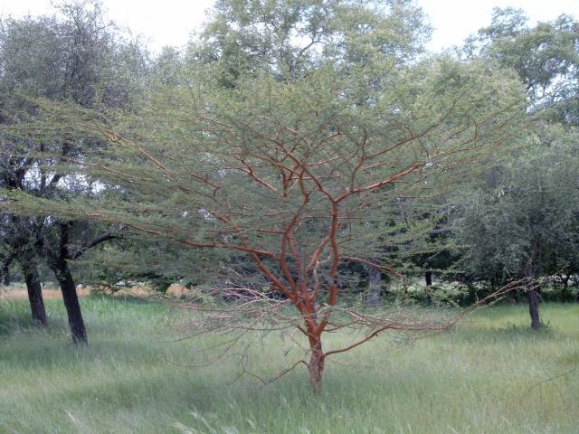 Acacia seyal