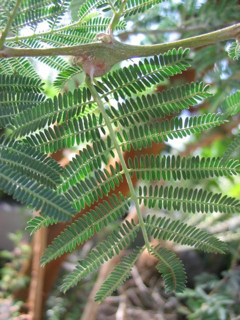 Acacia seyal leaf